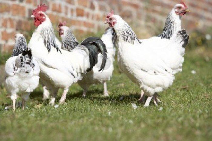 5040952-pollame-in-fattoria