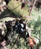Breve nota sul vitigno: il Primitivo di Manduria DOP
