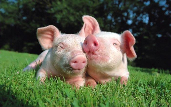Il maiale nella storia, da Omero a oggi, più o meno